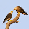 This pair of Dickinson's Kestrels seem to be sharing an intimate moment. Photo by participant Cliff Hensel.