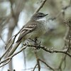 White-throated Tyrannulet is marvelously camouflaged for these surroundings. Photo by participant Ron Majors.