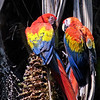 Not to be outdone are these equally stunning Scarlet Macaws from participant Paul Bisson.