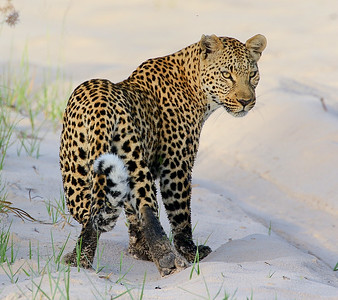 Our Namibia & Botswana tour is loaded with charismatic megafauna like this Leopard. Photo by participant Cliff Hensel.
