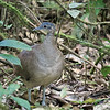 What? A nearly unobstructed view of a tinamou in good light? Participant Paul Bisson snapped this pic of a Great Tinamou.