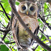 This African Wood-Owl watched us as intently as we watched it. Photo by participant Cliff Hensel.