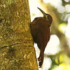 This Strong-billed Woodcreeper shows off its namesake feature nicely. Remarkably, there are 25 subspecies -- watch for future splits! Photo by participant Ron Majors.