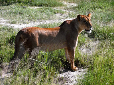 More megafauna: a fine Lioness photographed by participant Martha Vandervoort.
