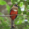 Participant Ron Majors also caught this Masked Trogon teed up nicely.