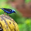 You can never see too many Red-legged Honeycreepers -- and honeycreepers can never have too many bananas. Photo by participant Paul Bisson.