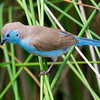 That's quite an unusual shade of blue on this Southern Cordonbleu, photographed by participant Cliff Hensel.