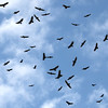 A kettle of Turkey Vultures put on quite a show.  Photo by guide Chris Benesh.
