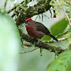 ...and this snazzy Red-crested Finch. Photos by participant Tony Ward.