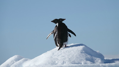 A two-headed Adelie Penguin? Participant Kathy Brown caught these two at just the right moment.