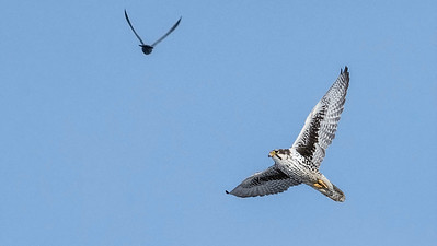 This Prairie Falcon, identified by its dark auxillaries, performed an impressive pursuit of Rock Pigeons. Photo by participant Don Taves.