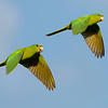 Another regional specialty we saw very well was Green Parakeet.  Photo by guide Chris Benesh.