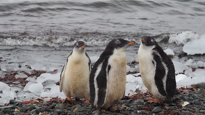 We enjoyed close looks at adorable juveniles, like these Gentoo Penguins, in addition to staggering numbers. Photo by participant Anne Ardillo.
