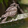 It is always exciting to find a White-tailed Nightjar, or any nightjar for that matter, on its dayroost. Photo by guide Marcelo Barreiros.