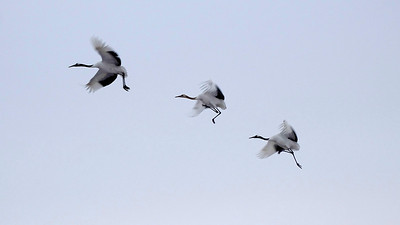 Two of these Red-crowned Cranes appear to be running to catch up to the bird in the lead. Photo by guide Phil Gregory.