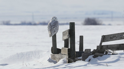 Snowy Owl movements are primarily driven by prey abundance, and lemmings are their favorite food. Cyclical population fluctuations of lemmings mean Snowy Owls are on the move some winters more than others. Photo by participant Jonathan Slifkin.