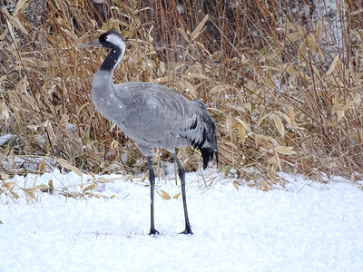 It has been decades since a Common Crane has shown up in Hokkaido, so this was our most unexpected species there. Photo by guide Phil Gregory.
