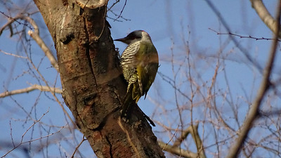 Finding the endemic Japanese Green Woodpecker can be challenging, so this experience was memorable. Photo by guide Phil Gregory.