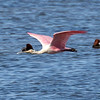 Next up on our visual tour of recent itineraries is our South Texas Rarities tour, where guide Chris Benesh caught this Roseate Spoonbill in flight.