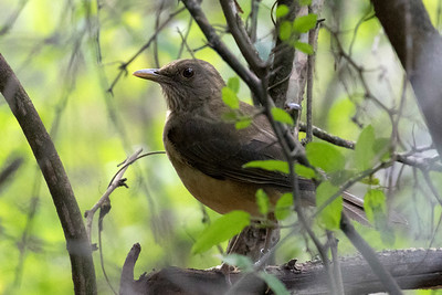 You have to get all the way down to South Texas if you want to see a Clay-colored Thrush in the ABA area.  Photo by guide Chris Benesh.