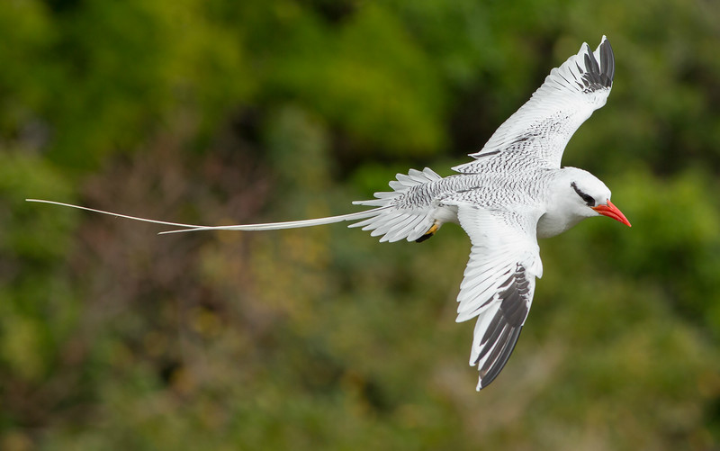 Outstanding views of Red-billed Tropicbirds are the highlight of our visit to Little Tobago Island. Photo by guide Marcelo Barreiros.