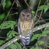 We couldn't have asked for a better look at Mottled Owl on the Santa Marta tour. This species can be found in many parts of Central and South America. Photo by guide Cory Gregory.