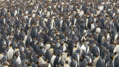 Personal space really isn't a thing with King Penguins at a breeding colony. Photo by participant Kathy Brown.