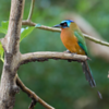Trinidad Motmots are as obliging as they are beautiful. Photo by guide Marcelo Barreiros.