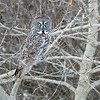 Our last wintry tour to highlight is Owlberta: Alberta's Owls & More. The majestic Great Gay Owl is the longest owl in North America, but it is mostly feathers. Both Snowy Owl and Great Horned Owl are heavier. Photo by participant Jonathan Slifkin.