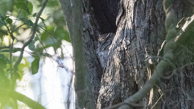 The cryptic plumage of this roosting Eastern Screech-Owl challenges our eyes to tease it out from the bark all around. Photo by guide Chris Benesh.