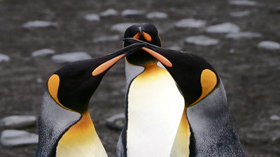 King Penguins are trouble-makers. No doubt these three are up to no good. Photo by participant Kathy Brown.