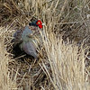 This Green Pheasant is doing its best to go unseen -- rather challenging with a red face in this setting! Photo by guide Phil Gregory.