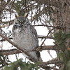 Great Horned Owls at the northern edge of the range often present a paler, frostier plumage. Photo by participant Jonathan Slifkin.