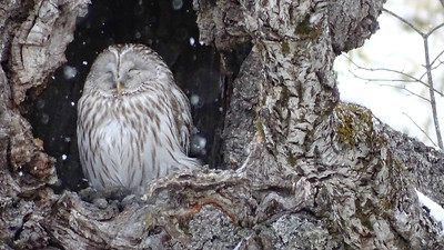 It was thrilling to find this Ural Owl asleep in its daytime roost. Photo by guide Phil Gregory.