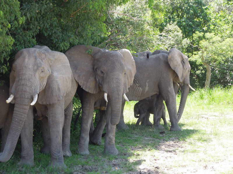 Large mammals are of course a classic bonus of most birding tours to Africa: did you notice the African Elephant calf among all those legs and trunks? (Photo by participant Deborah Linde)