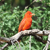 Wow, now that is a red bird! This male Summer Tanager was photographed by participant Jeff Whitlock.