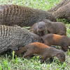 We conclude our Uganda pics with this family of Banded Mongoose foraging at Mweya Lodge -- very confiding! (Photo by participant Deborah Linde)