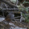 Any view of a small tapaculo is a success, and Ancash Tapaculo gave us a great look! (Photo by participant Ken Havard)