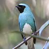 If birds could get caught up with vanity, a male Swallow Tanager would be a likely (and worthy) candidate. (Photo by participant Bruce Hallett)