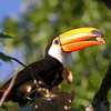 At almost two pounds and with an eight-inch bill, the Toco Toucan is the largest toucan as well as largest member of the order Piciformes. (Photo by participant Bruce Hallett)