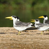 The massive bill of Large-billed Terns makes this ID a snap, and they've got a fancy black-and-white wing pattern in flight to clinch it. (Photo by participant Bruce Hallett)