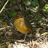 The aptly named Tawny Antpitta is one of the higher-elevation species and also possible at Yanacocha. (Photo by participant Eileen Wheeler)