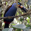 A Plate-billed Mountain-Toucan plays a little peek-a-boo, still letting us see its distinctive face and bill pattern. This species is found on the west slope. (Photo by participant Eileen Wheeler)