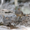 This hen Gambel's Quail watches carefully over her young brood. (Photo by participant Jeff Whitlock)