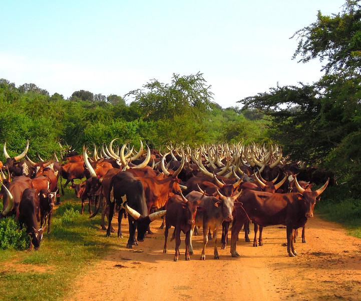 A bovine blockade in Uganda -- we decided to be patient! (Photo by participant Deborah Linde)