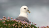 If you're used to seeing fulmars over water, this Iceland image is a bit unusual! Photo by guide Eric Hynes.
