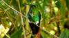 Emerald-bellied Puffleg 01 pms16 Max Rodel