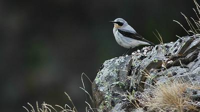 A Northern Wheatear is perfectly patterned for its setting. Photo by guide Eric Hynes.
