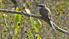 """Dark-billed Cuckoo is """"the"""" cuckoo on the isles. Photo by participant Sid England."""