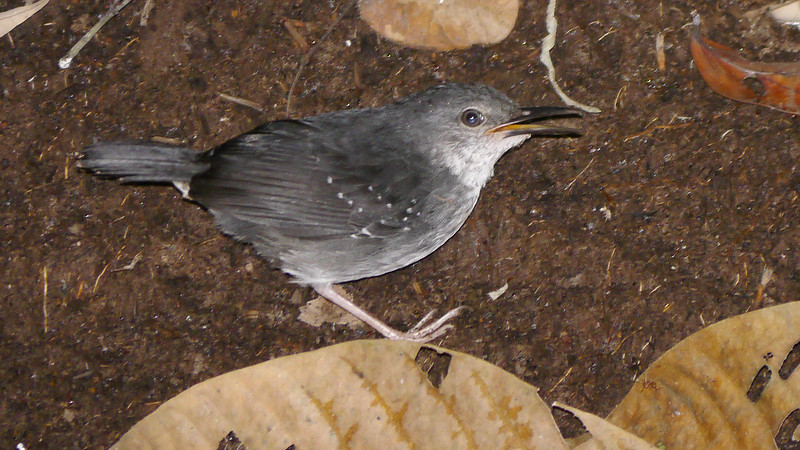 Silvered Antbird is a loud voice at the edge of water in rainforest. Photo by participants David and Judy Smith.